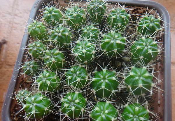 Эхинопсис из семян фото сеянцев