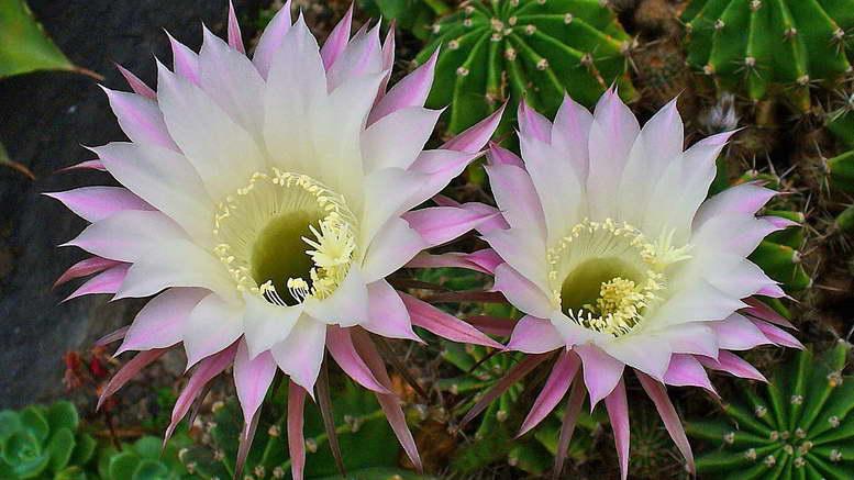 Эхинопсис уход в домашних условиях фото цветения