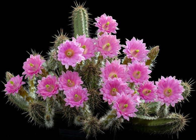 Эхиноцереус Шери Echinocereus scheeri фото