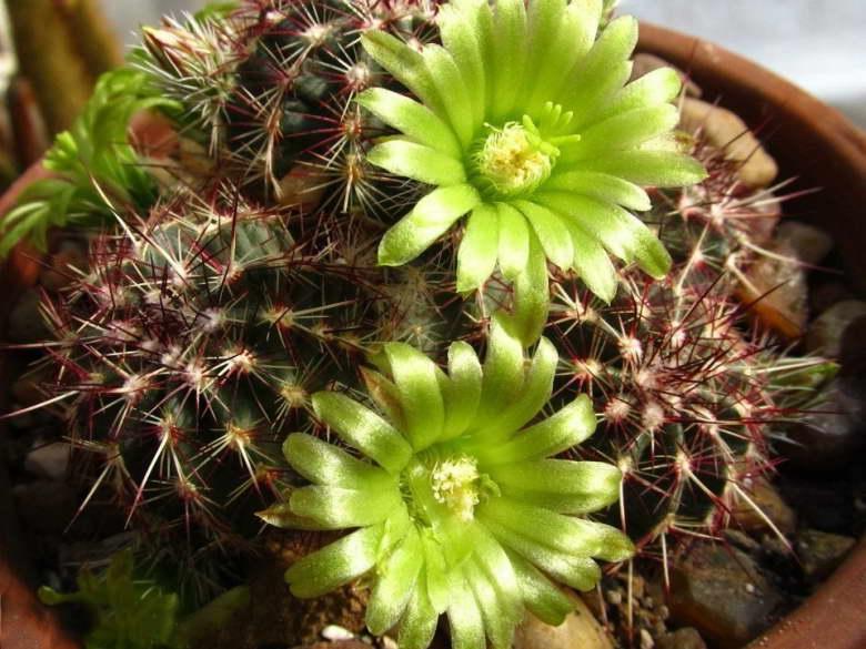 Эхиноцереус зеленоцветковый Echinocereus viridiflorus фото