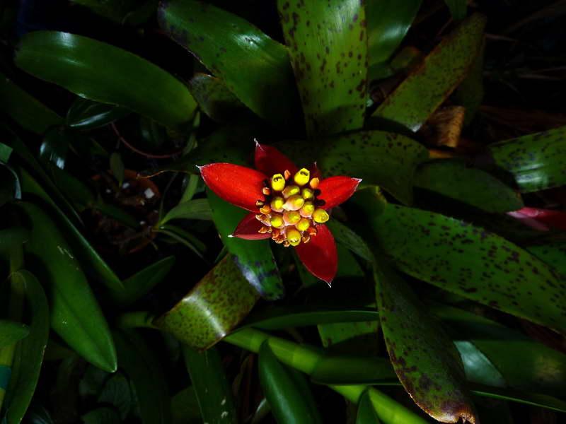 Эхмея голостебельная Aechmea nudicaulis фото