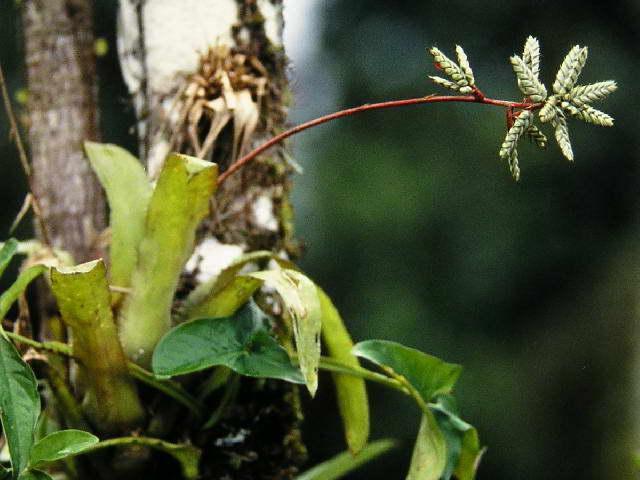 Эхмея опушенная Aechmea pubescens фото