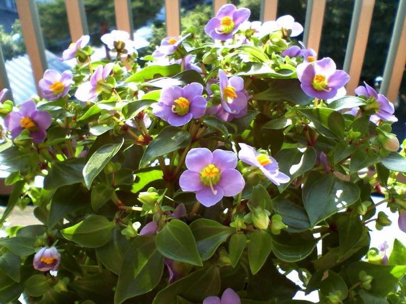Экзакум трехжилковый Exacum triverve фото цветов