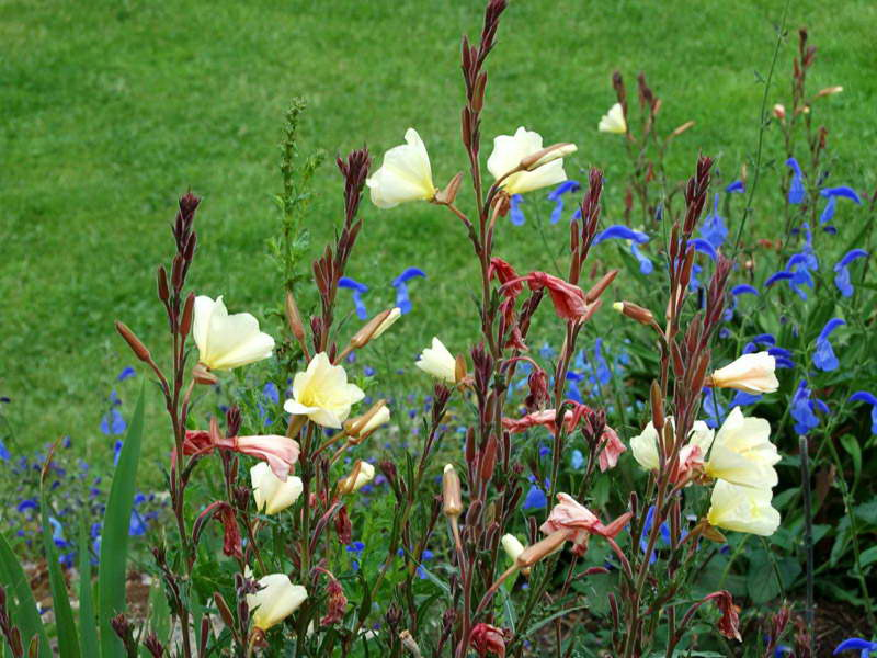 Энотера душистая Oenothera odorata фото