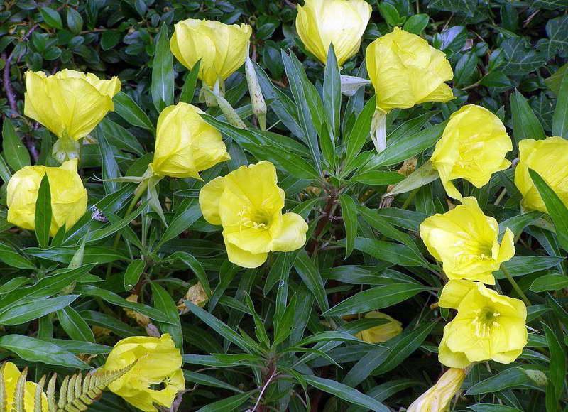 Энотера миссурийская Oenothera missouriensis сорт Yellow Evening Missouri Primrose фото