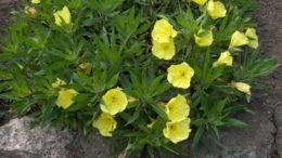 Энотера многолетняя желтая миссурийская фото цветов Посадка и уход в открытом грунте