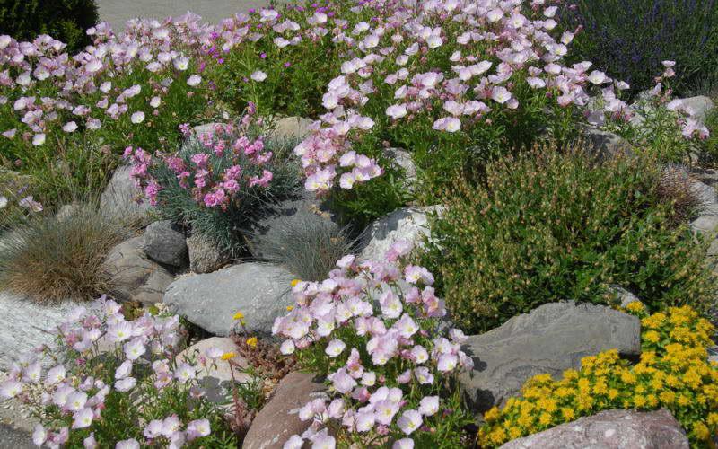 Энотера розовая на альпийской горке фото