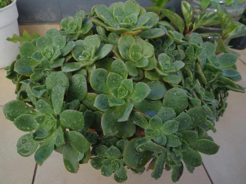 Эониум Хаворта Aeonium haworthii фото