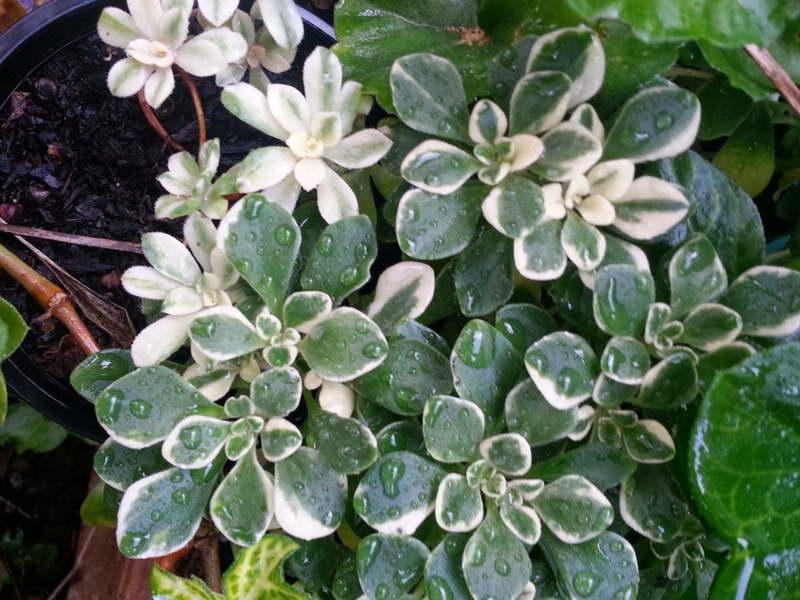 Эониум домашний вариегата Aeonium domesticum variegata фото