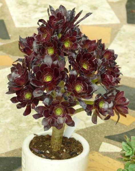Эониум древовидный Aeonium arboreum фото