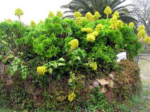Эониум золотистый Aeonium holochrysum фото
