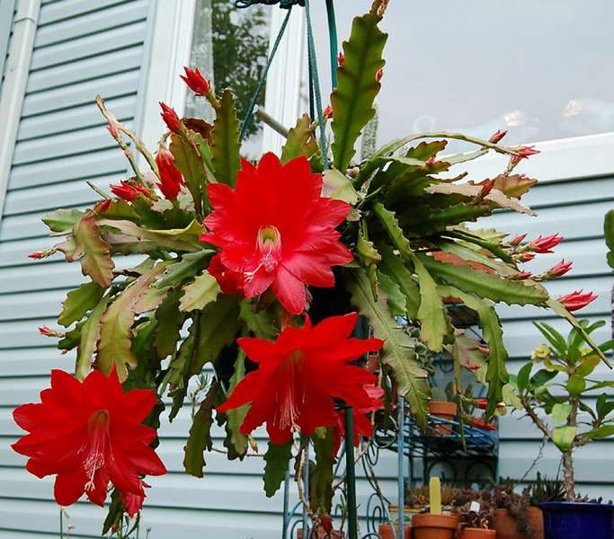 Эпифиллум Аккермана Epiphyllum ackermanii фото