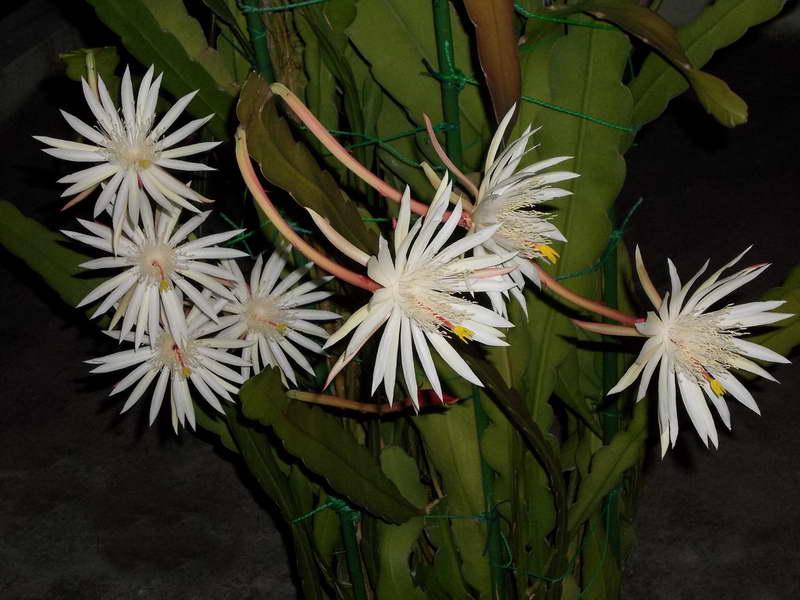 Эпифиллум Хукера Epiphyllum hookeri фото
