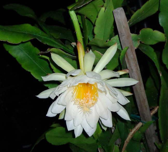 Эпифиллум Томаса Epiphyllum thomasianum фото