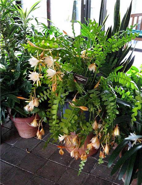 Эпифиллум ангулигер или угловатый Epiphyllum anguliger фото
