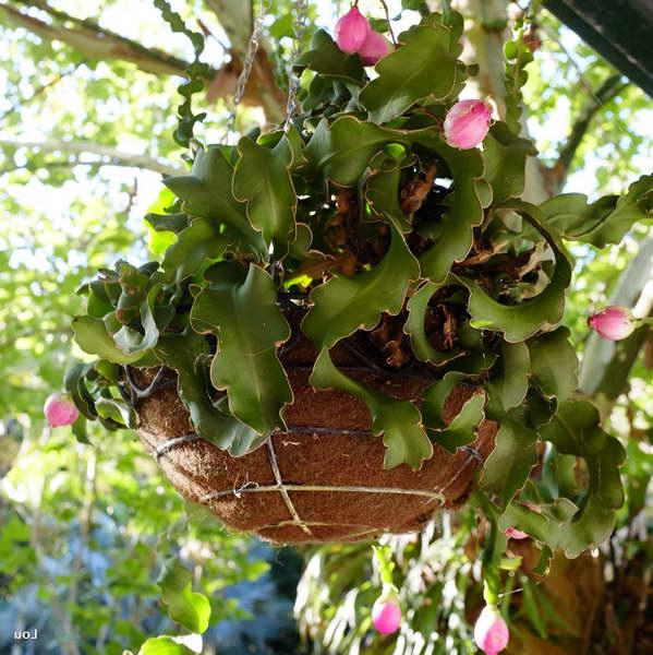 Эпифиллум гватемальский Epiphyllum guatemalense фото