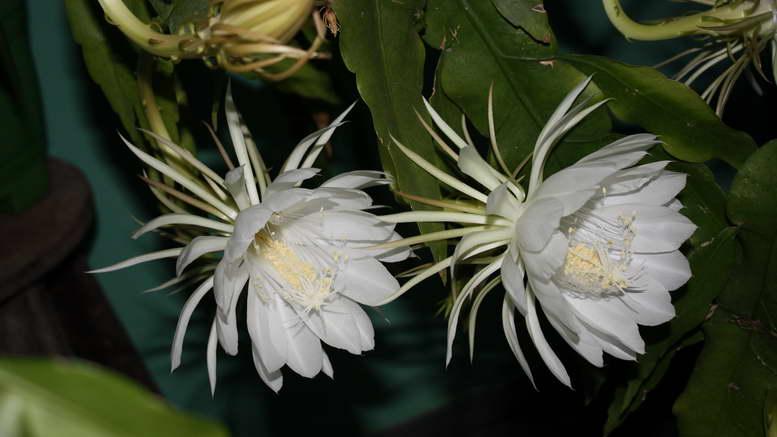 Эпифиллум как ухаживать фото цветов