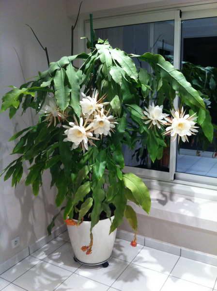 Эпифиллум оксипеталум он же остролепестный Epiphyllum oxypetalum фото