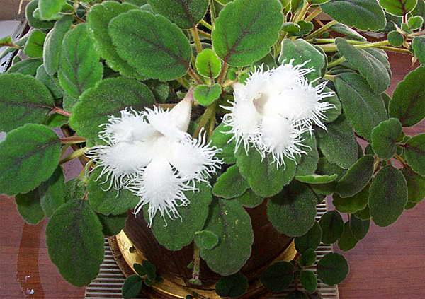 Эписция гвоздикоцветная Episcia dianthiflora фото