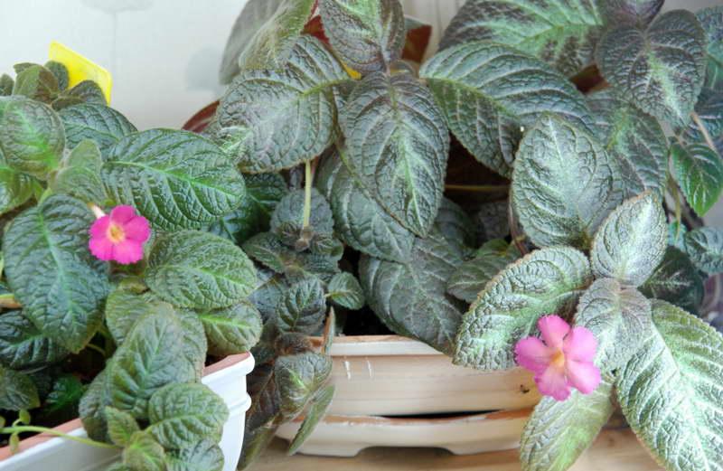 Эписция лесная красавица Episcia Silvans Beauty фото