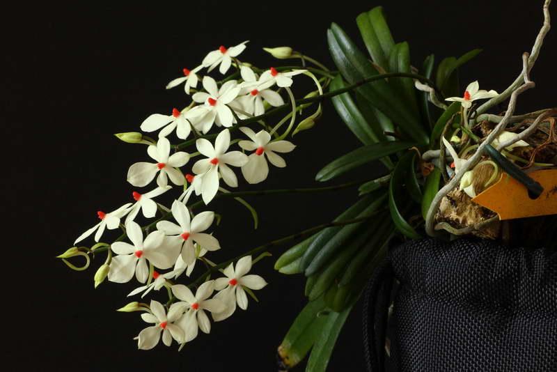 Эрангис жёлто-белый красноточечный или аэрангис жёлто-белый красноточечный Aerangis Luteoalba Var. Rhodosticta фото