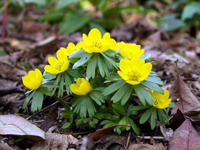 Цветок эрантис описание
