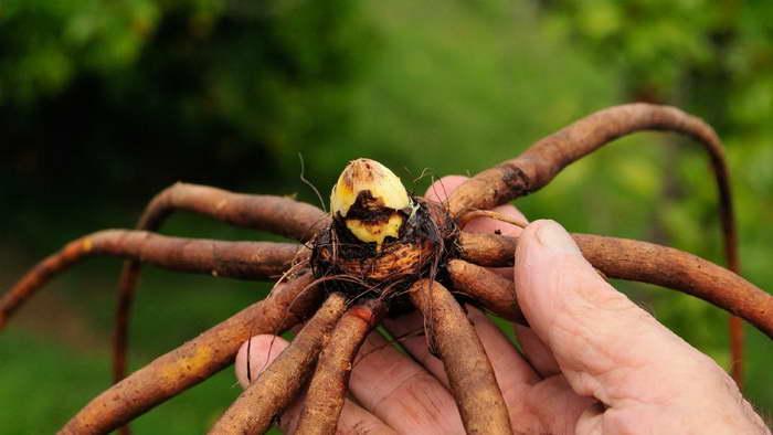 Эремурус можно надрезать и получить несколько растений в следующем сезоне