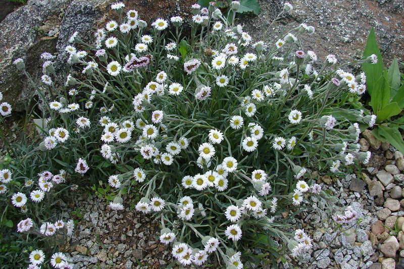 Эригерон Флетта Erigeron flettii фото цветов