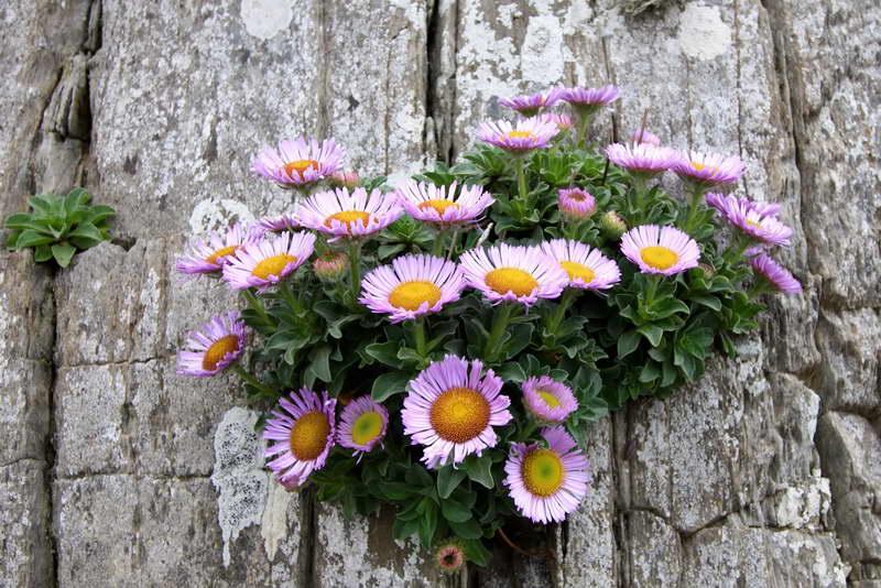 Эригерон Глаукус Erigeron glaucus фото цветов