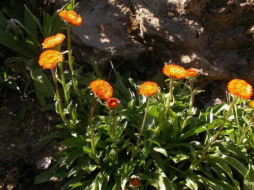 Эригерон Оранжевый Erigeron aurantiacus Regel фото цветов