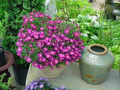 Эригерон Розовый бриллиант фото в саду