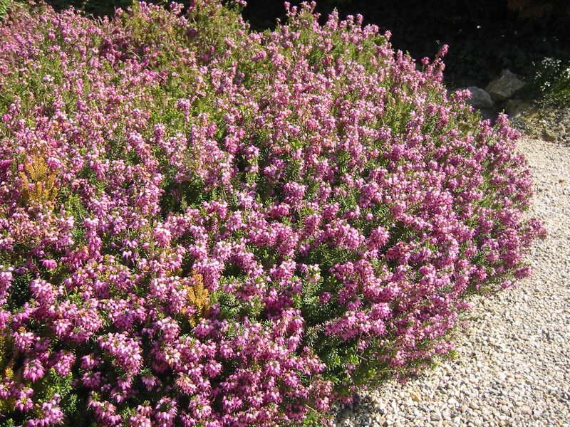 Эрика румяная или травяная Erica herbacea или Erica carnea фото