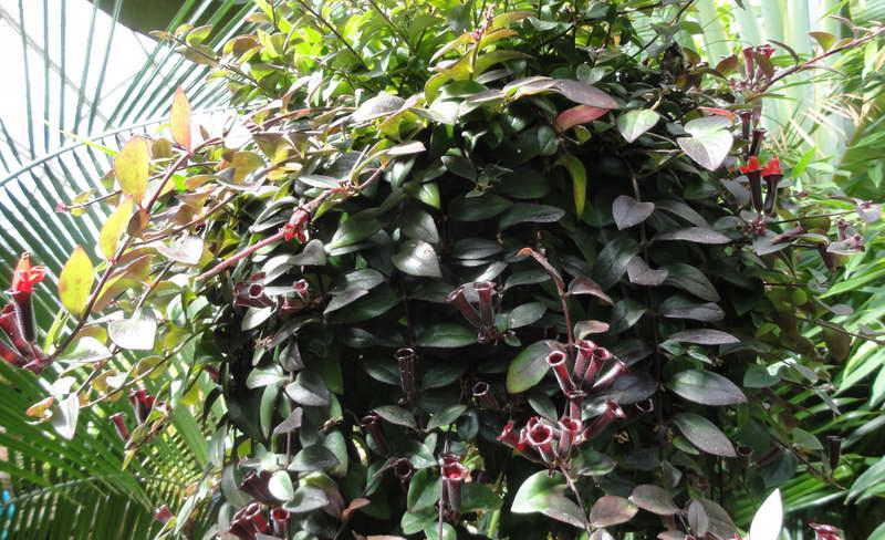 Эсхинантус ЛоббаAeschynanthus lobbianus фото