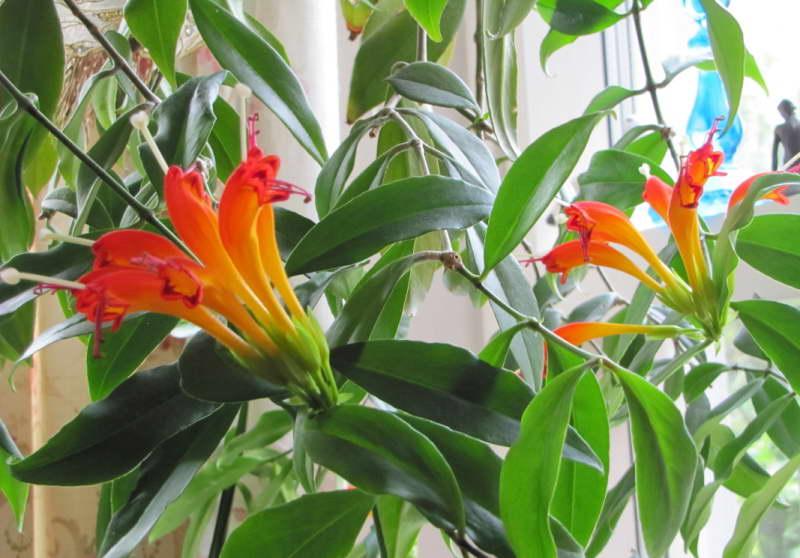 Эсхинантус прекрасный или эсхинантус великолепный Aeschynanthus speciosus фото