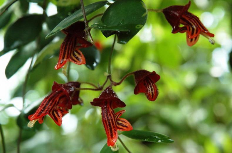 Эсхинантус триколор Aeschynanthus Tricolor