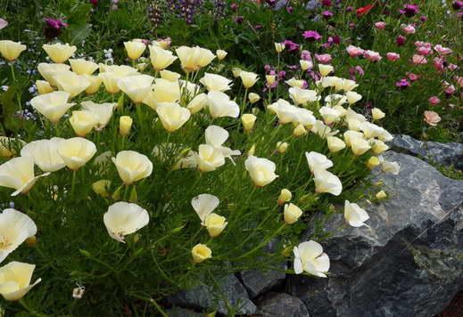 Эшшольция в саду фото альпийской горки