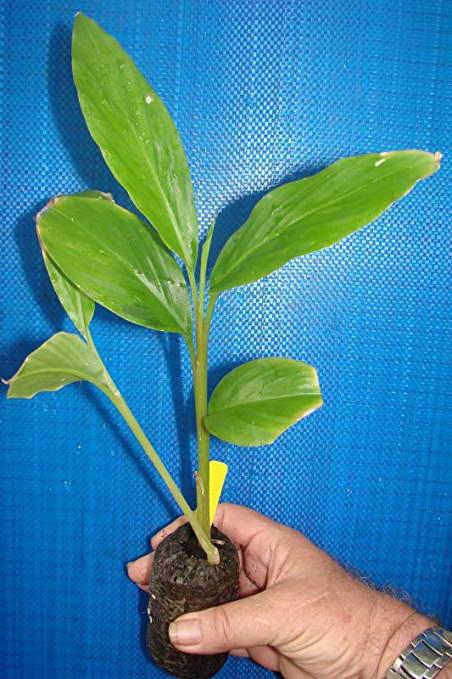 Этлингера из семян фото