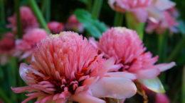 Этлингера в домашних условиях фото цветов