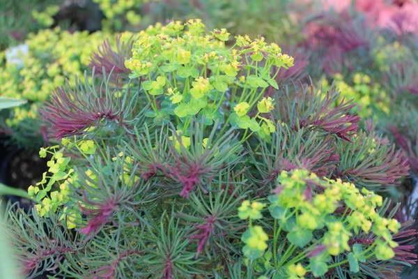 Эуфорбия кипарисовая сорт Euphorbia cyparissias Ruby Fields фото