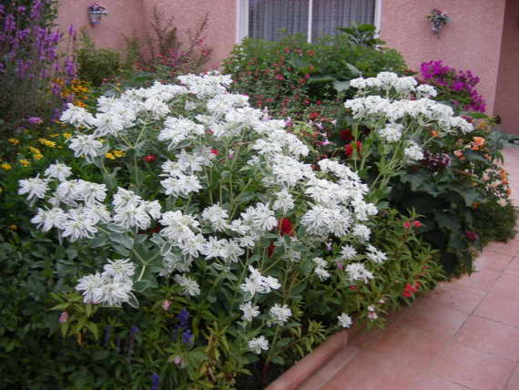 Эуфорбия маргината или молочай окаймленный фото на клумбе с другими цветами