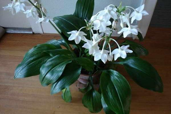 Цветок эухарис или амазонская лилия: уход, пересадка 15