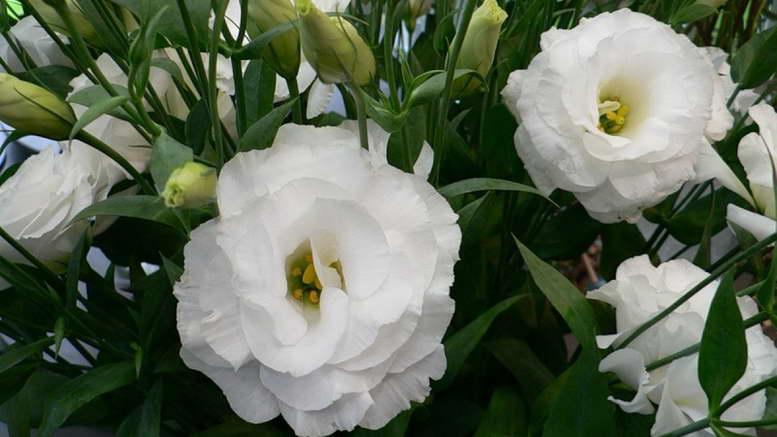 Цветы эустома уход в домашних условиях фото