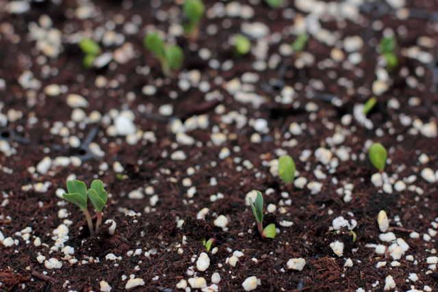 Эустома выращивание из семян когда сажать Всходы эустомы фото