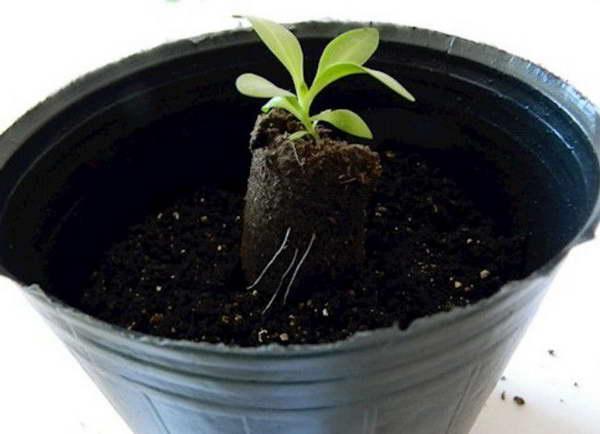 Эустома выращивание из семян когда сеять Как переваливать рассаду