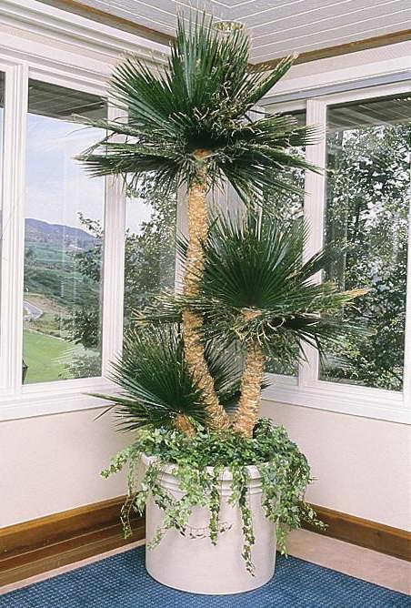 Европейская пальма в интерьере фото