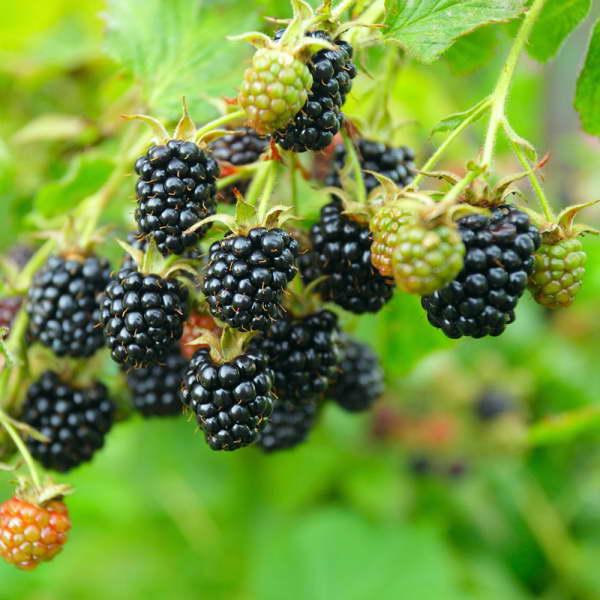 Ежевика Блэк Сатин Rubus Black Satin фото и описание