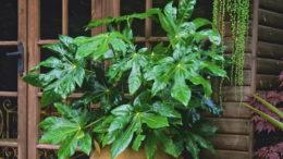 Фатсия комнатное растение фото