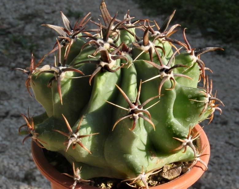 Ферокактус хорридусFerocactus horridus фото
