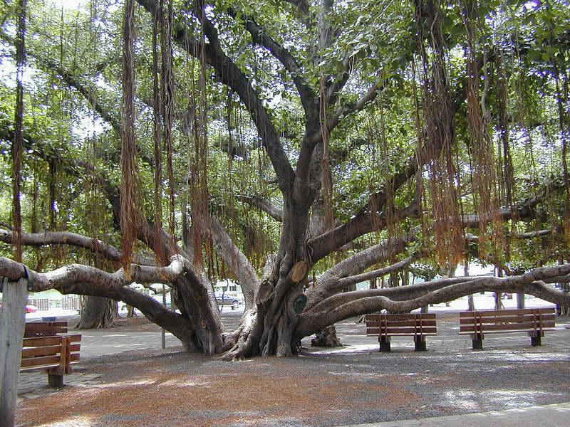 Фикус бенгальский в природе фото баньяна
