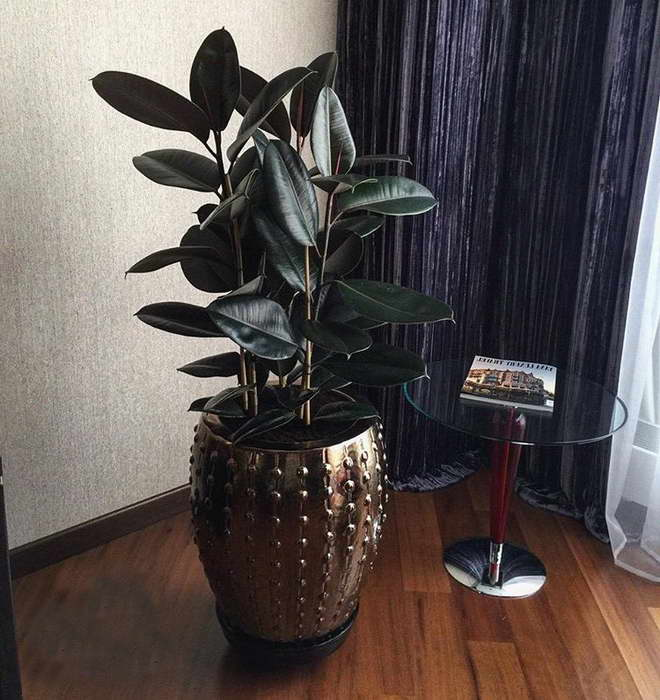 Фикус эластика Абиджан Ficus elastica Abidzhan фото